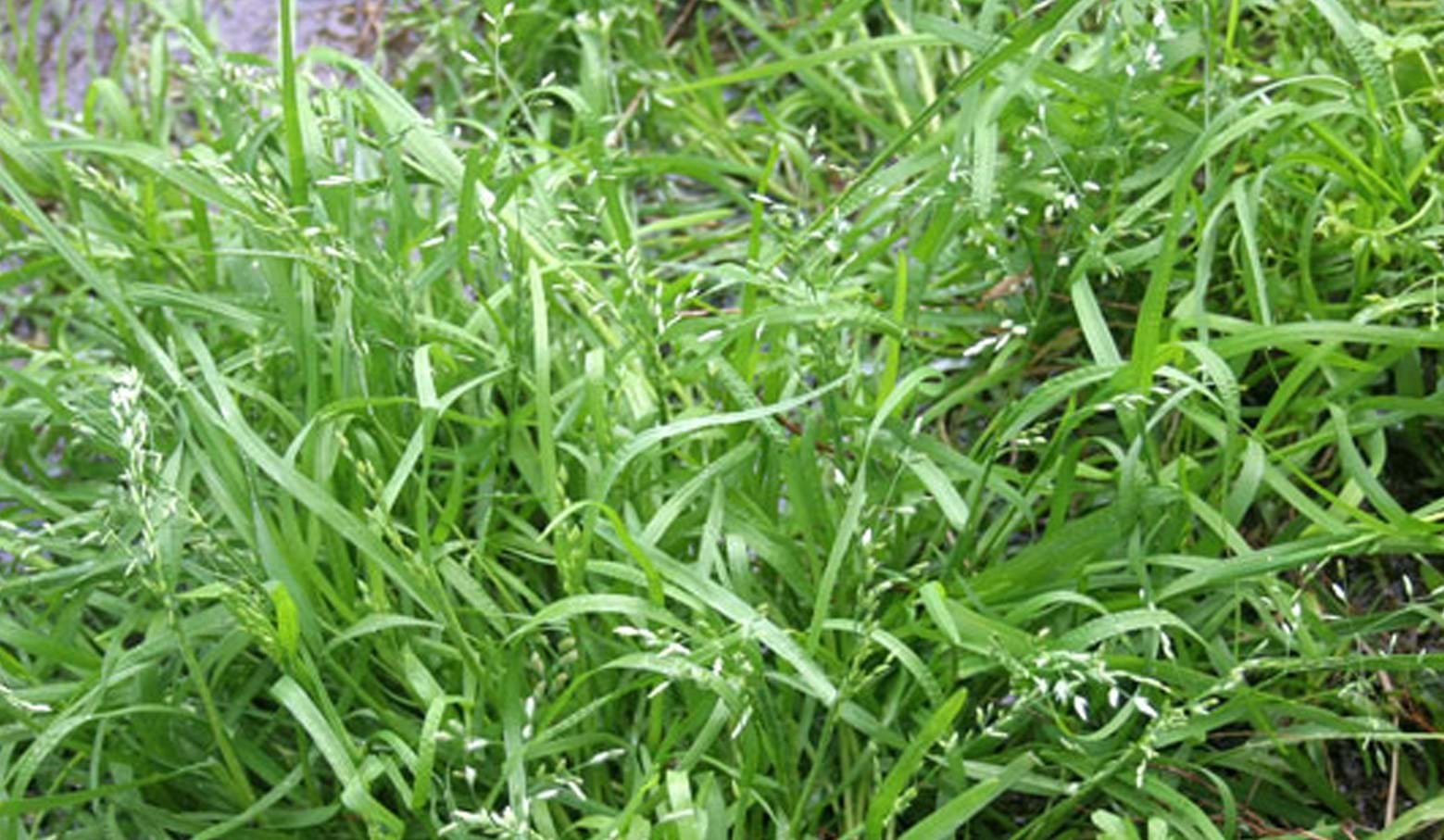 Types of lawn grass weeds - Lawn Weed Winter Grass Winter Grass