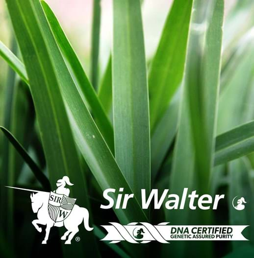 SIR WALTER | LOW MAINTENANCE | DROUGHT TOLERANT | LAWN SOLUTIONS |SOFT LEAF BUFFALO | DNA Certified |